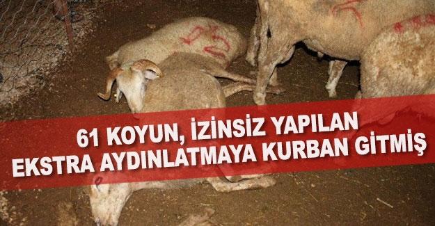 61 koyun, izinsiz yapılan ekstra aydınlatmaya kurban gitmiş