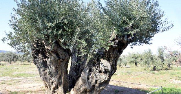 Asırlık ağaçlar zeytin verdi