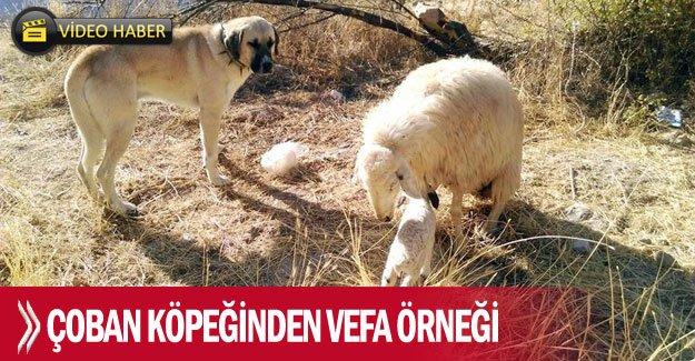 Çoban köpeğinden vefa örneği