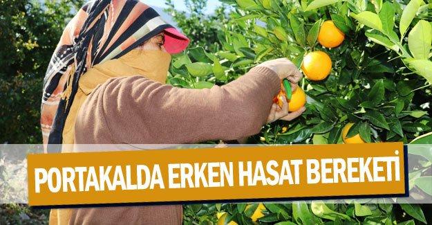 Portakalda erken hasat bereketi