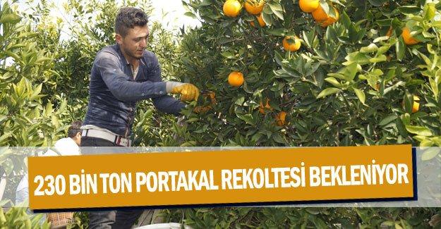 230 bin ton portakal rekoltesi bekleniyor
