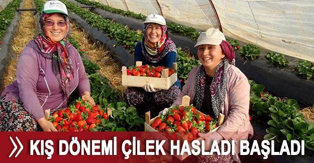 Antalya'da kış dönemi çilek hasladı başladı