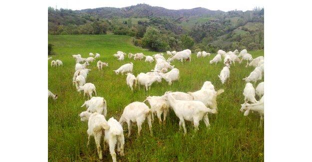 Özen: Antalya hayvancılıkta iyi