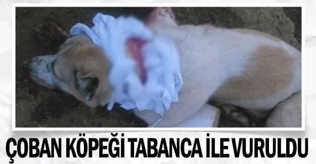 Çoban köpeği tabanca ile vuruldu