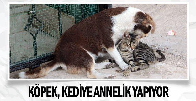 Köpek, kediye annelik yapıyor
