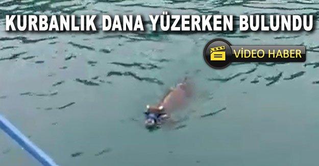 Kurbanlık dana yüzerken bulundu