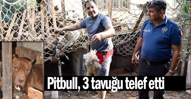 Pitbull, 3 tavuğu telef etti