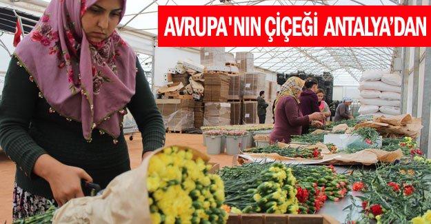 Avrupa'nın çiçeği  Antalya'dan