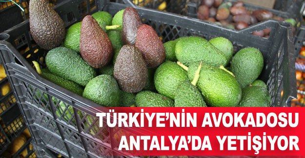 Türkiye'nin avokadosu Antalya'da yetişiyor