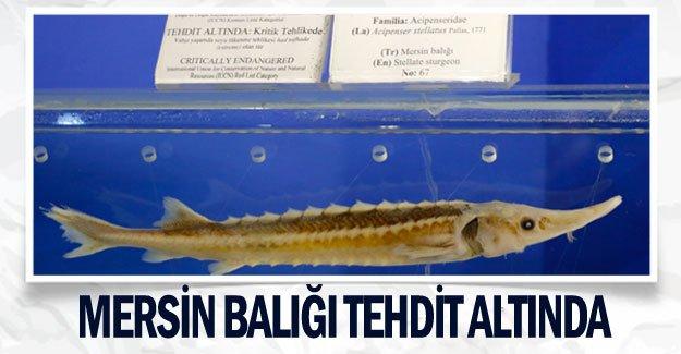 Mersin balığı tehdit altında