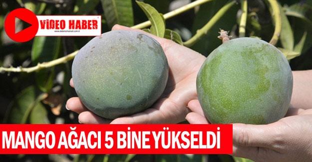 Mango ağacı 5 bine yükseldi