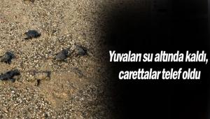 Yuvaları su altında kaldı, carettalar telef oldu