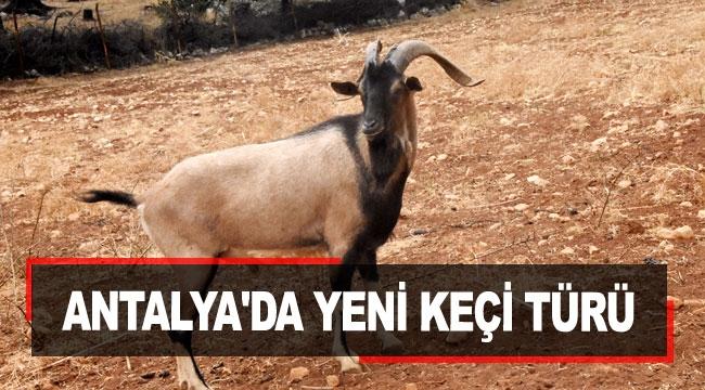Antalya'da yeni keçi türü