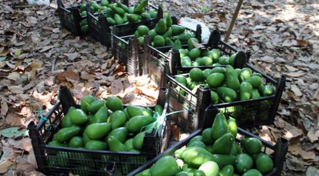Avokado'da hedef 50 milyon adet