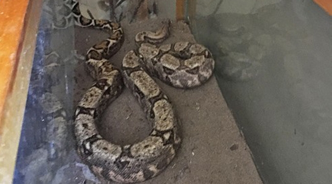 Boa yılanı ele geçirildi