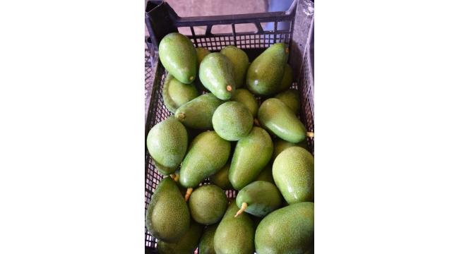 İlk kez avokado ihracatı başladı