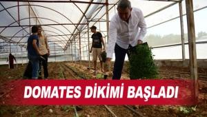 Seralarda güz dönemi domates dikimi başladı