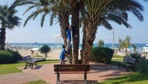 Hurma ve palmiye ağaçlarına ilaçlama