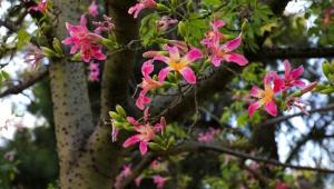 Sonbaharda çiçek açıyor