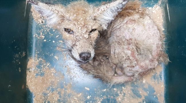 Uyuz tilki yavrusu tedaviye alındı