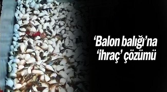 'Balon balığı'na 'ihraç' çözümü