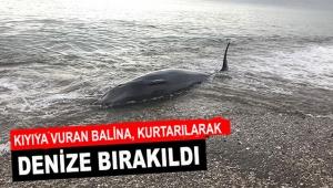 Kıyıya vuran balina, kurtarılarak denize bırakıldı