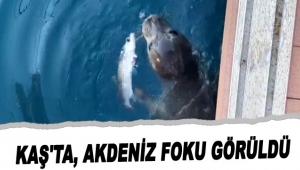 Kaş'ta, Akdeniz foku görüldü