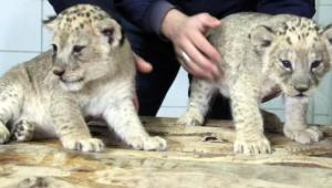 Yavru aslanlara özenle bakılıyor