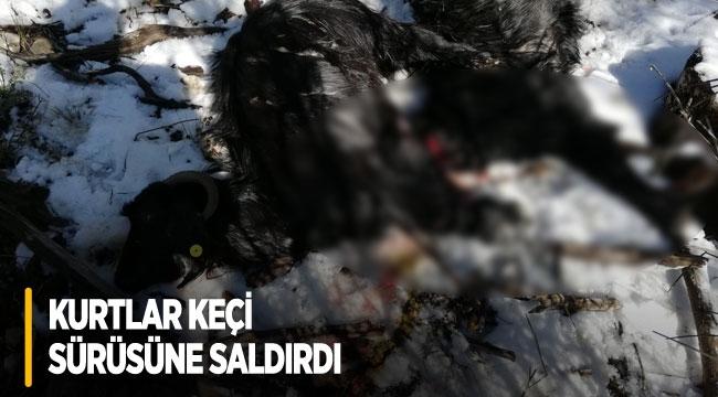 Antalya'da kurtlar keçi sürüsüne saldırdı