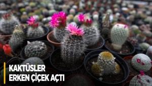 Kaktüsler erken çiçek açtı