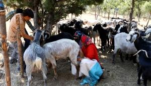 Yörüklerde hasta keçiye 'kan aşısı' tedavisi