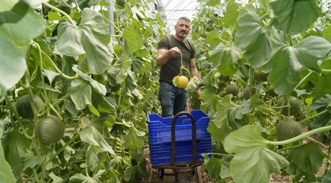 Finike'de örtü altında yetiştirilen kavuna yoğun talep