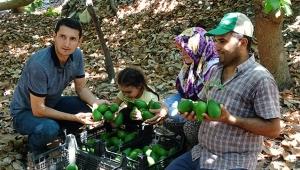 Alanya'da avokado hasadında yeni hedef 70 milyon