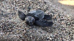 6 bin 214 caretta yavrusu denizle buluşturuldu