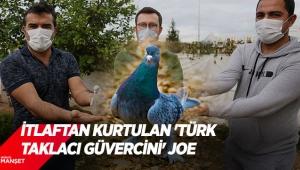 İtlaftan kurtulan 'Türk taklacı güvercini' Joe