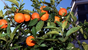 Muratpaşa'nın turunçları reçel oluyor