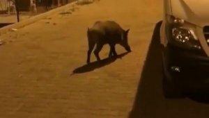 Kaş'ta yiyecek arayan yaban domuzu kamerada