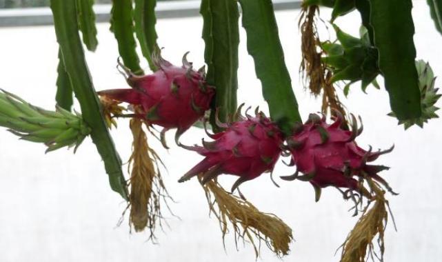 Narenciye bahçeleri, ejder meyvesi serasına dönüşüyor